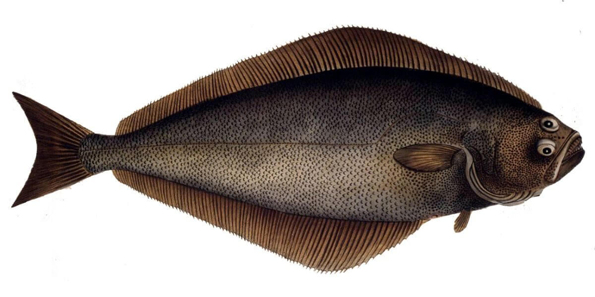 Halibut fish