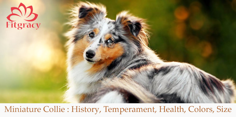 Miniature Collie History, Temperament, Health, Colors, Size